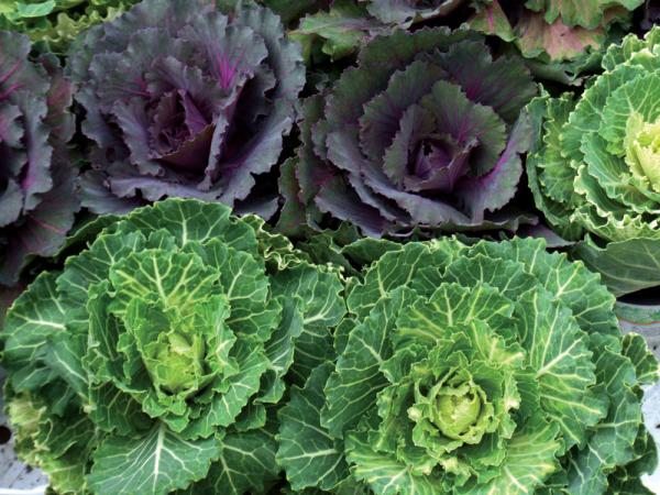 Cabbage-3909607